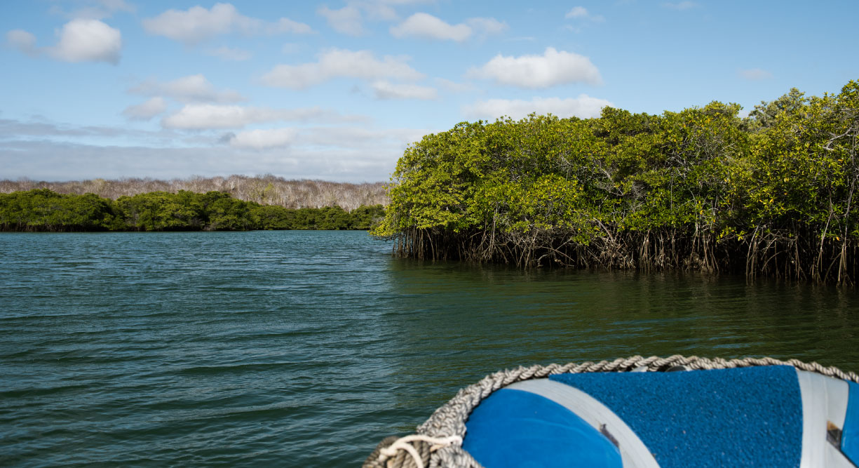 Black Turtle Cove - Santa Cruz in the Galapagos view of mangrove in panga