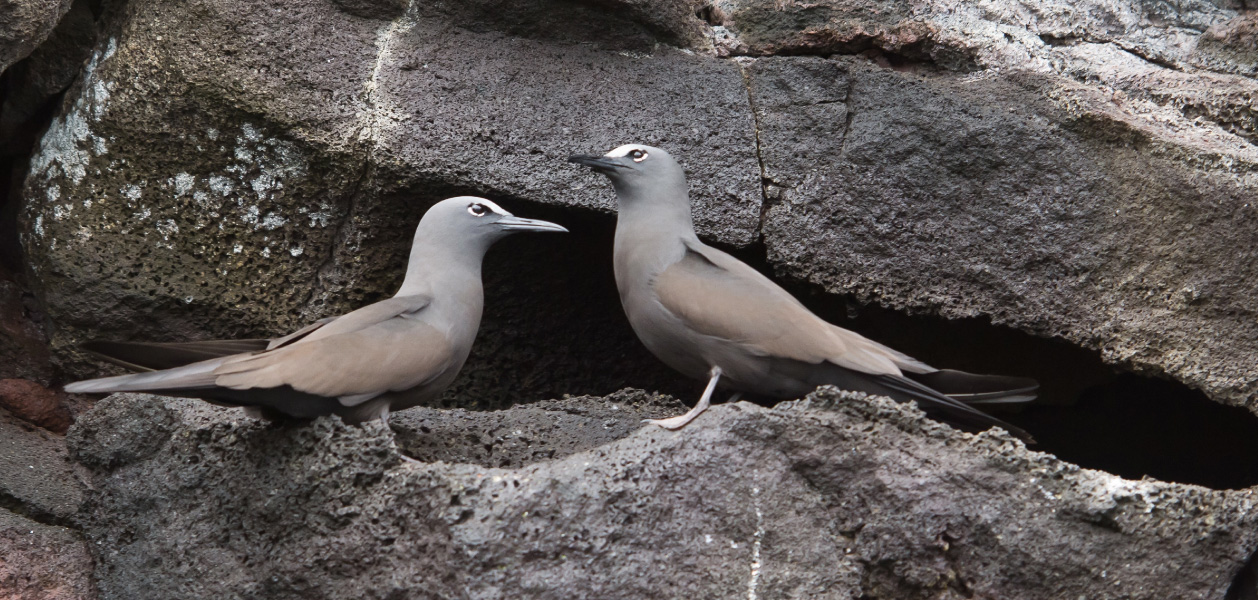 Brown Noddy Tern Galapagos Cruises And Ecuador Travel
