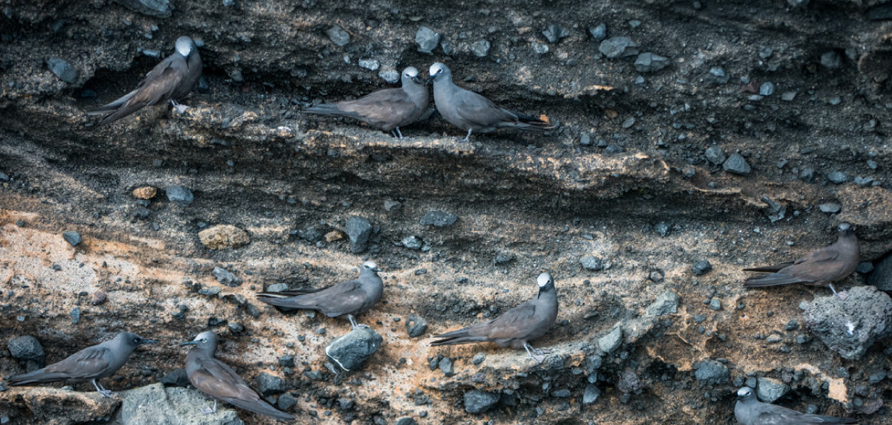 Group of Galapagos Brown Noddy resting on the wall with stones