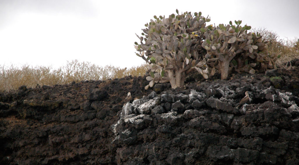 Champion - Floreana in Galapagos islands, view of the cactus in the hills