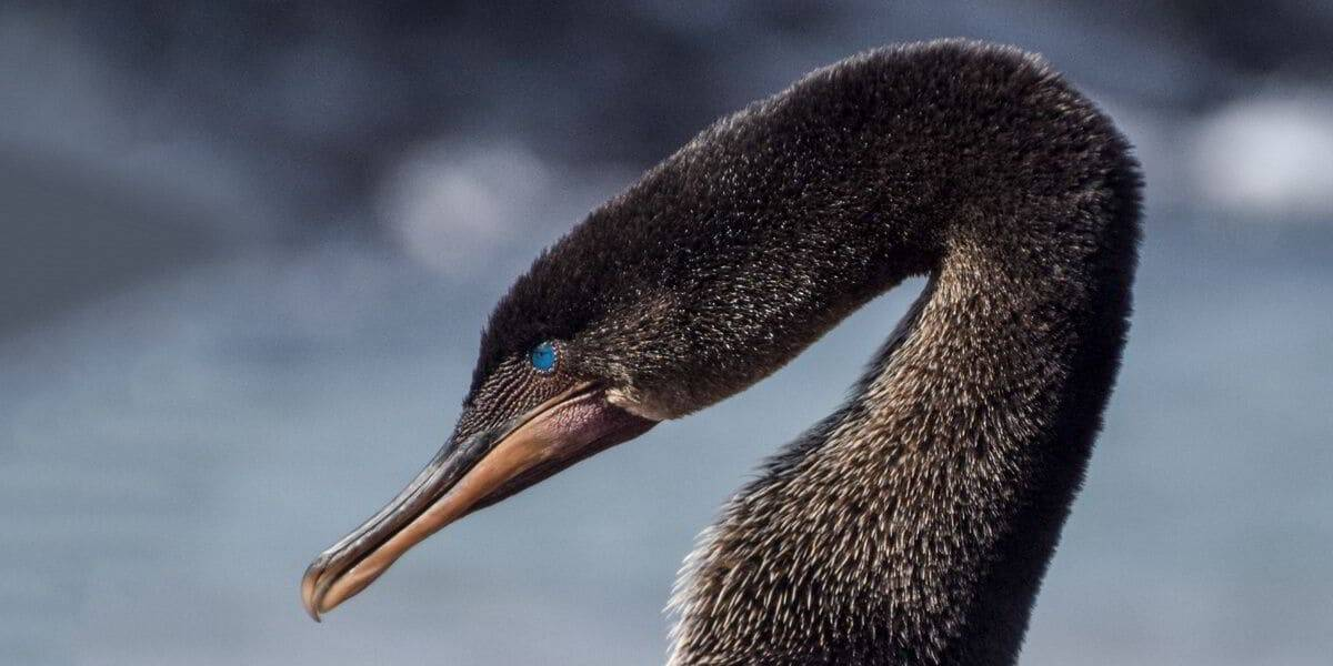 Galapagos Flightless Cormorant