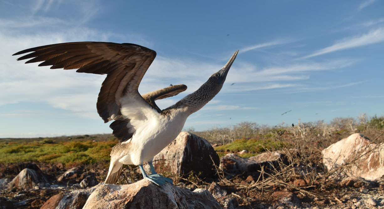 North Seymour in Galapagos Islands view of the blue footed boobie dance