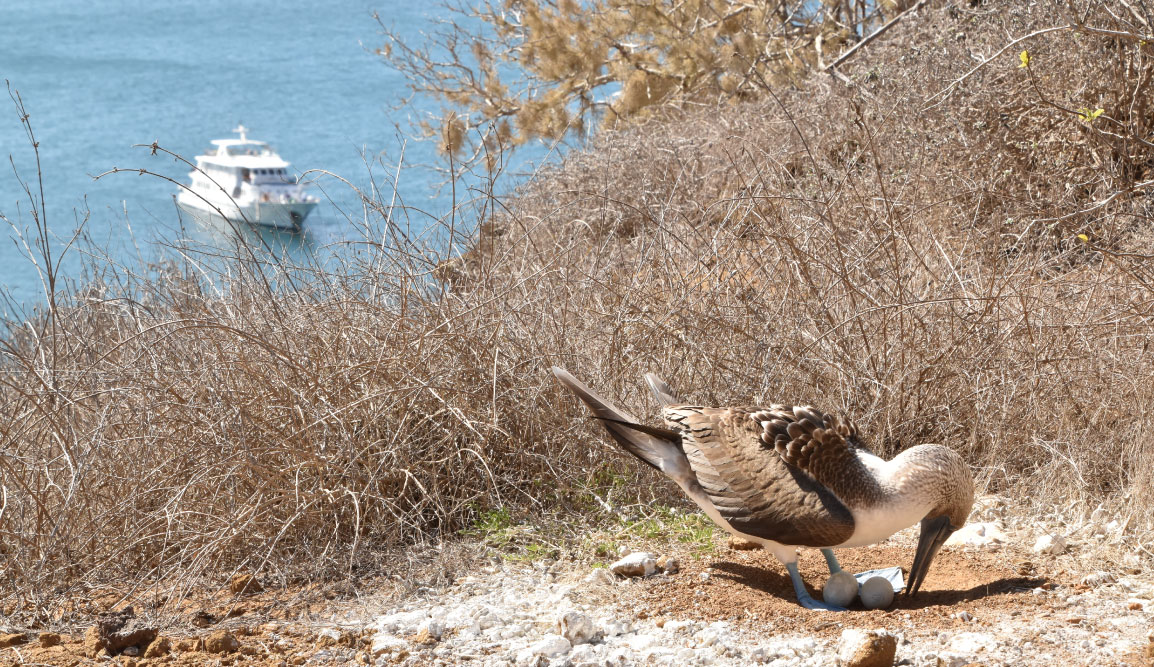 Pitt Point - San Cristobal in Galapagos Islands, view of a blue footed boobie in a rock