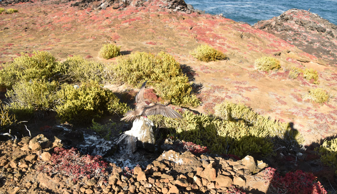 Pitt Point - San Cristobal in Galapagos Islands, view of a landscape with the sea, earth and sky with red footed boobie