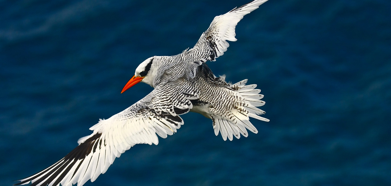 Red-billed Tropicbird, flying over the sea in Galapagos Islands