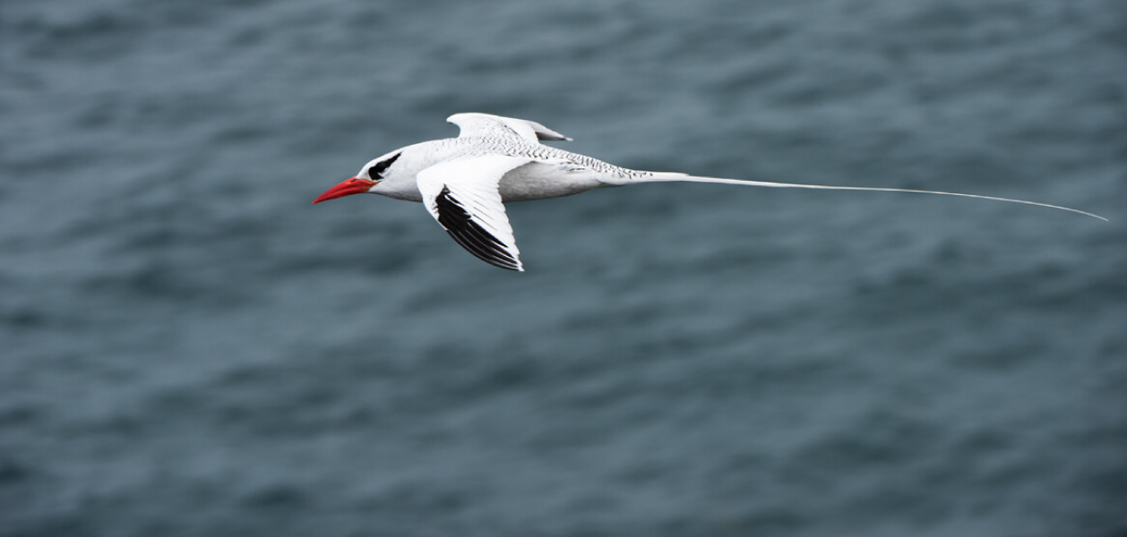 Profile Red-billed Tropicbird flying above the sea in Galapagos Islands