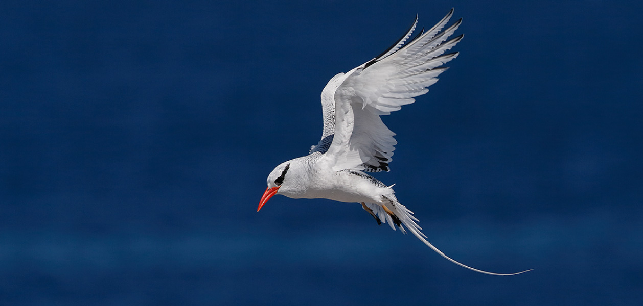 Red-billed Tropicbird flying with open wings in Galapagos Islands