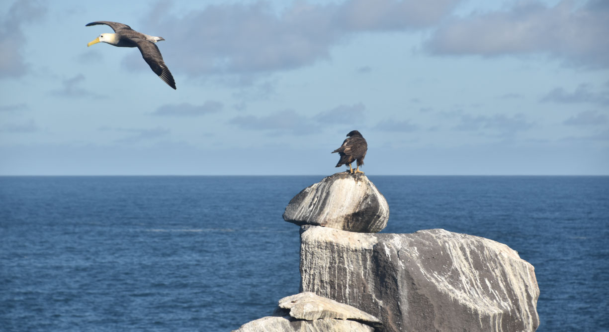 Suarez Point - Española in Galapagos Island view of a Galapagos Falcon and a albatros