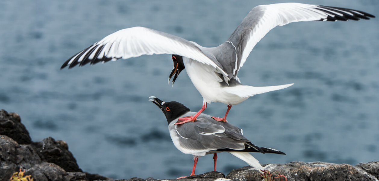 Swallow-tailed Gulls (Larus furcatus) mating on the rocks with the sea background