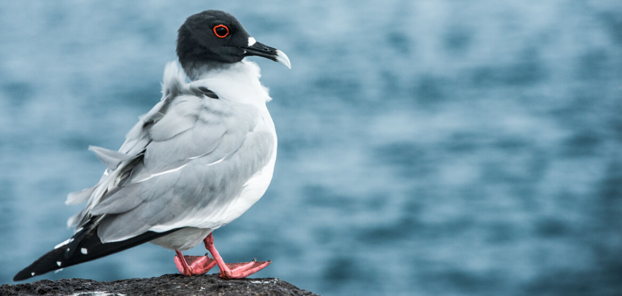 Swallow-tailed Gull with feathers raised with the wind in Galapagos Islands