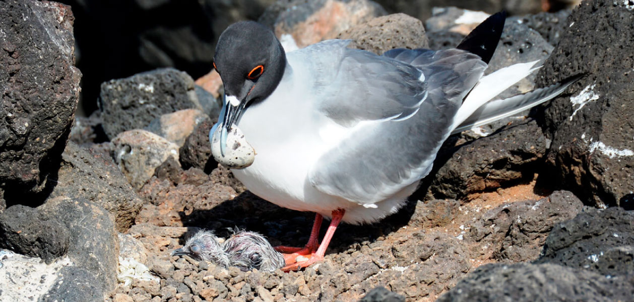 Swallow-tailed Gull with chick fresh out of the egg in Galapagos Islands