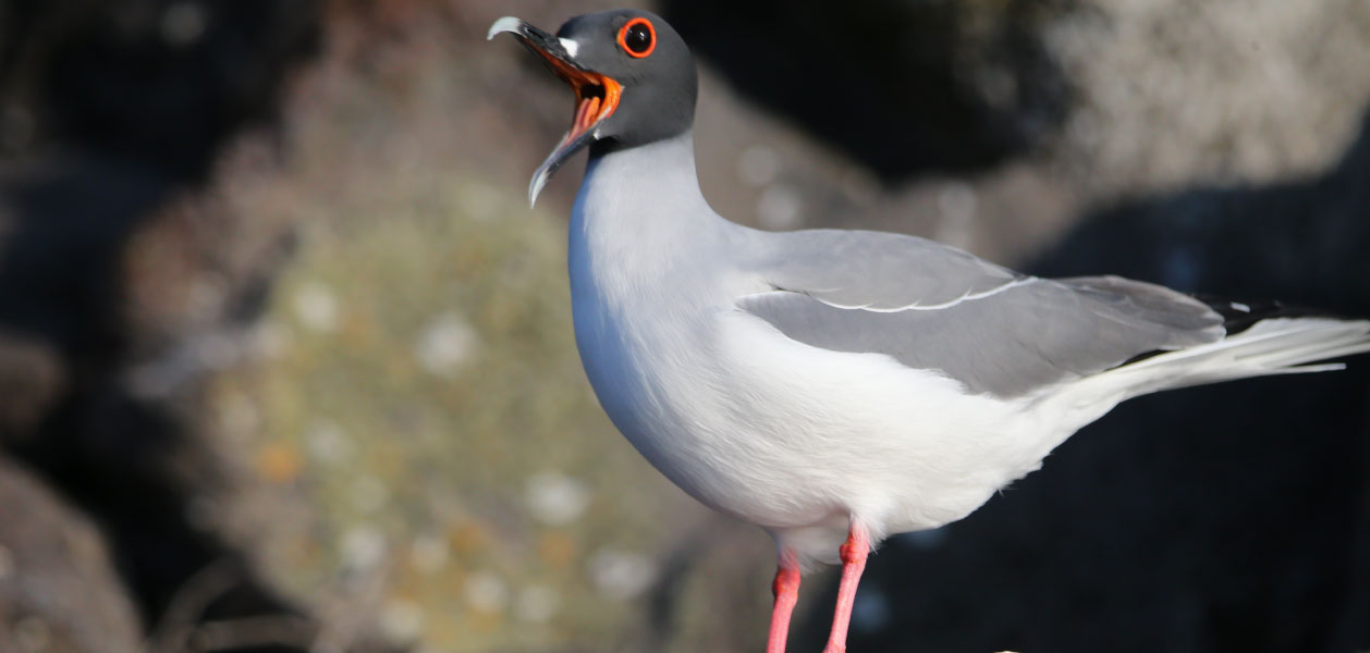 Swallow-tailed Gull chirping on a rock in Galapagos Islands