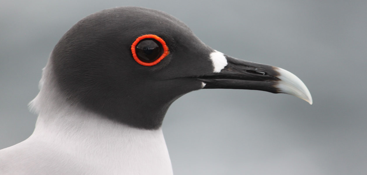 Galapagos Islands, profile Swallow-tailed Gull eye close up
