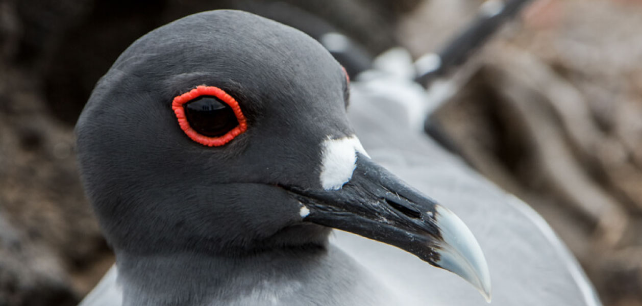 Galapagos Islands, Swallow-tailed Gull eye close up