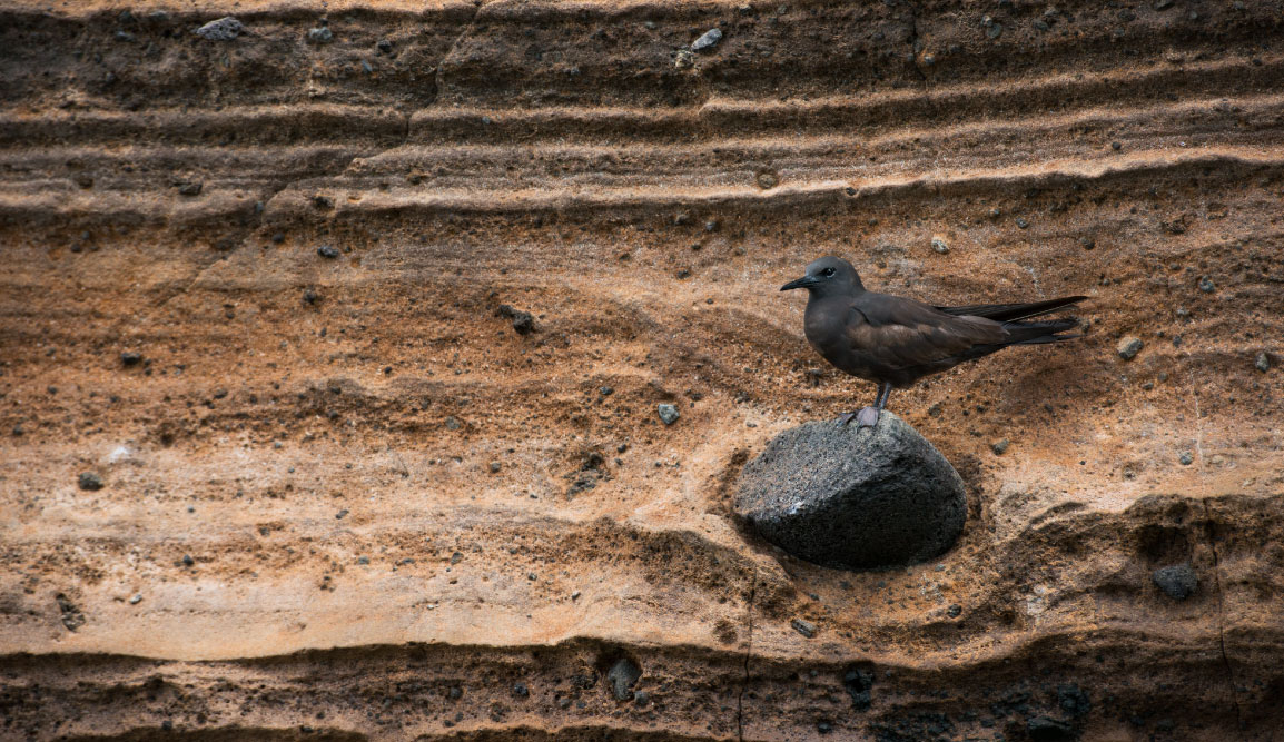 Vicente Roca Point in Isabella Island, view of a Galapagos Pidgeon