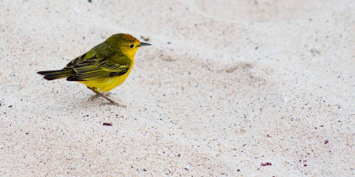 Galapagos Yellow Warbler, Darwins Yellow Finch