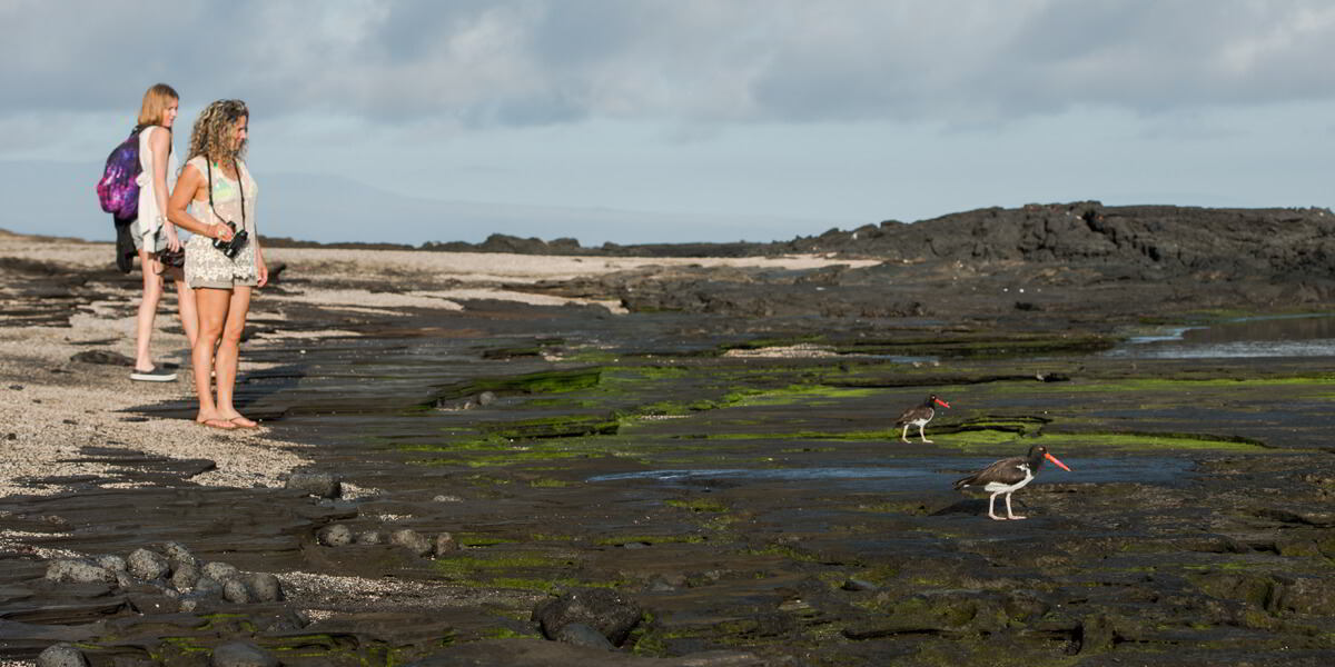 American Oystercatcher being watched by tourists in Galapagos - Ecuador