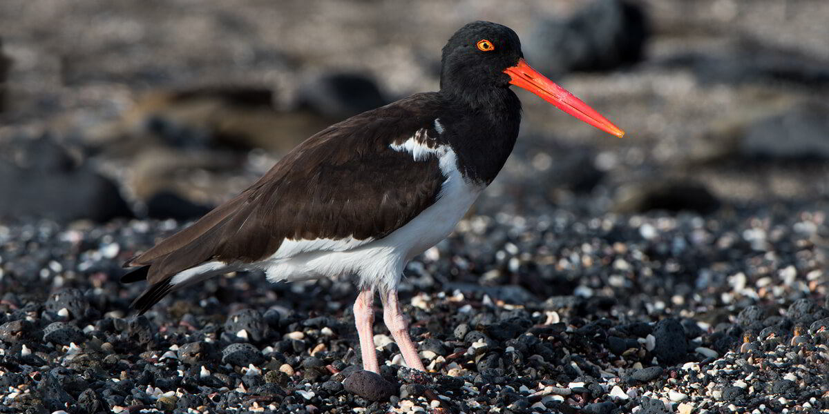 American Oystercatcher in Galapagos Islands