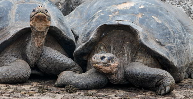 Giant Tortoise – Lonesome George