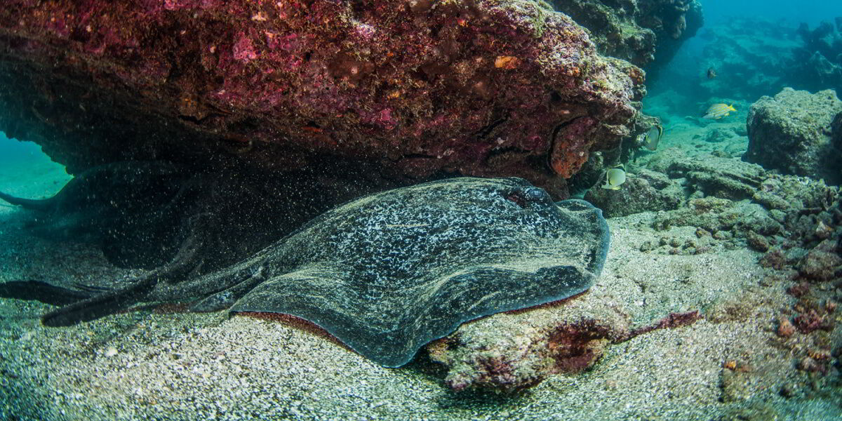 Marbled Ray Galapagos Islands, Pacific Ocean