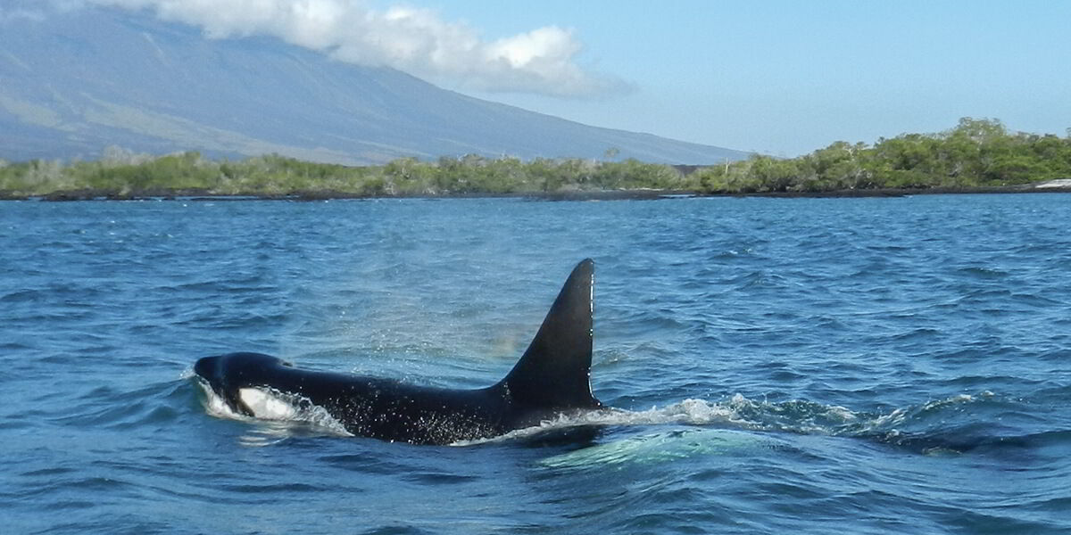 Killer Whales (Orcinus orca) Galapagos Islands