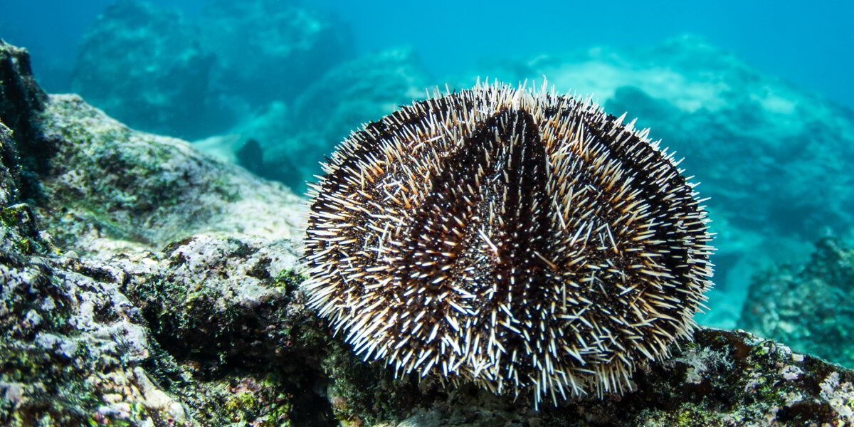 White Sea Urchin Galapagos Islands, South America Pacific Ocean