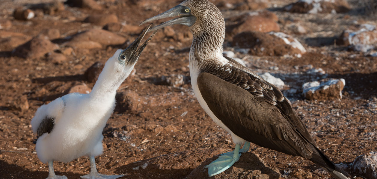 Galapagos Blue Footed Booby with a baby blue footed booby