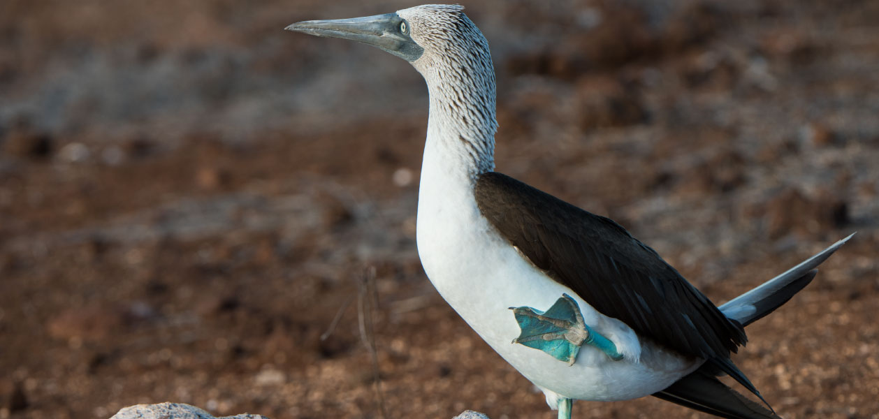 Blue Footed Booby Galapagos Cruises And Ecuador Travel