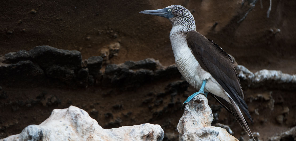 Profile Blue Footed Booby standing on the rocks in Galapagos Islands