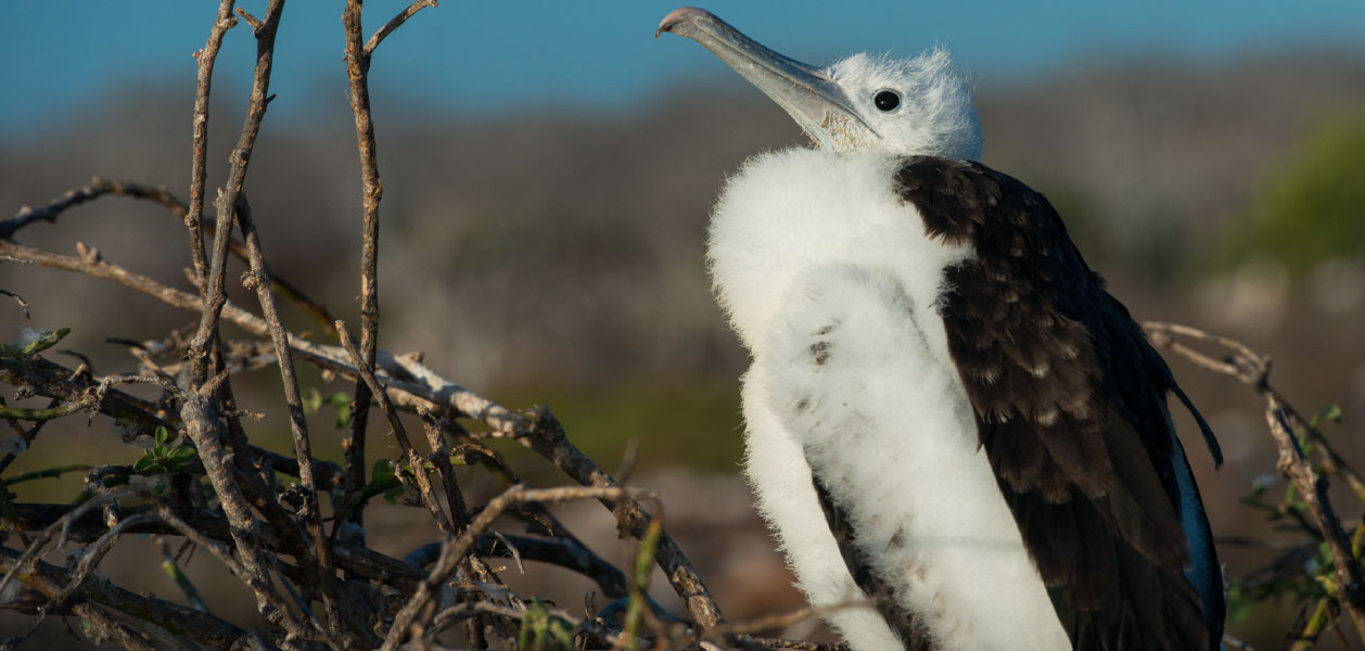 Baby Frigate bird in Galapagos Islands