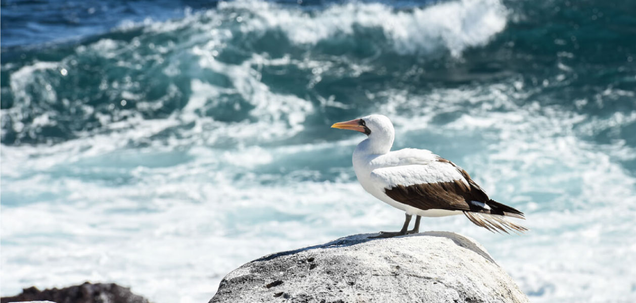 Galapagos Masked Booby standing in a rock