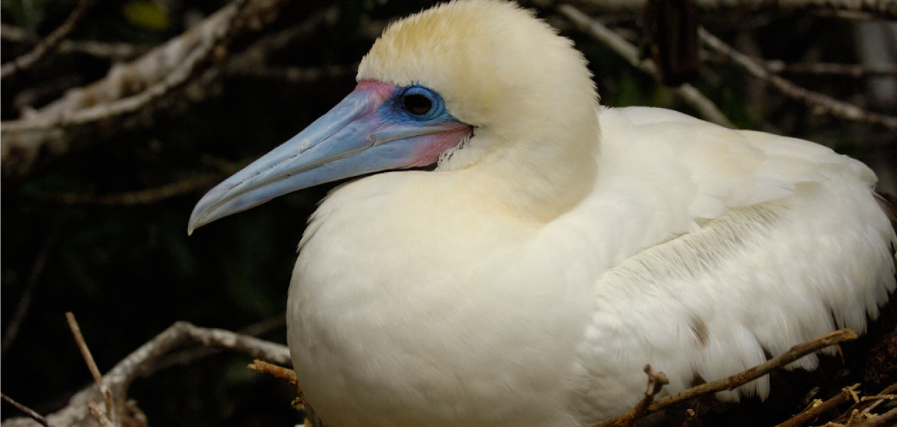 Galapagos Islands Red-Footed Booby, white