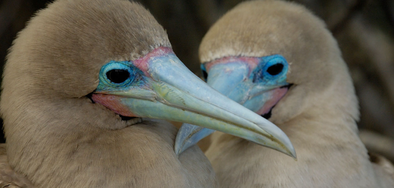 Galapagos Islands Red-Footed Booby couple