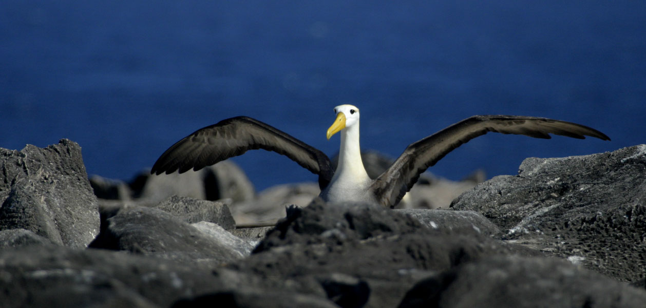 Galapagos Albatross flying in Española Island