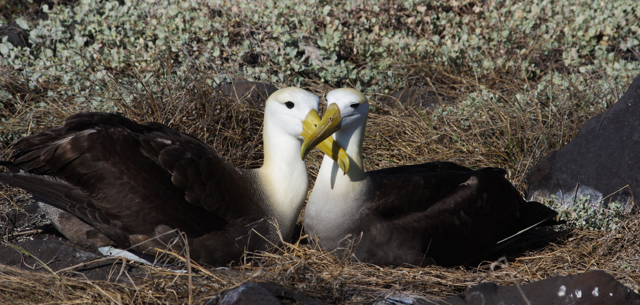 Galapagos Albatross couple in Española Island