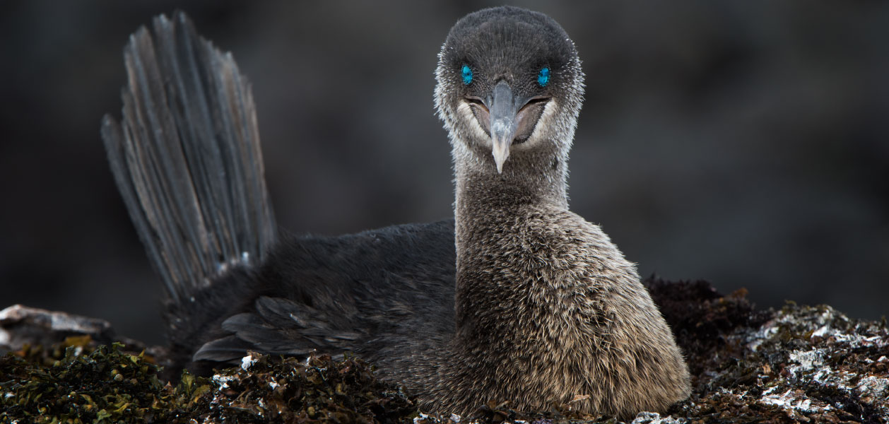 Flightless cormorant settling on its nest at Punta Espinoza on Fernandina Island in Galapagos