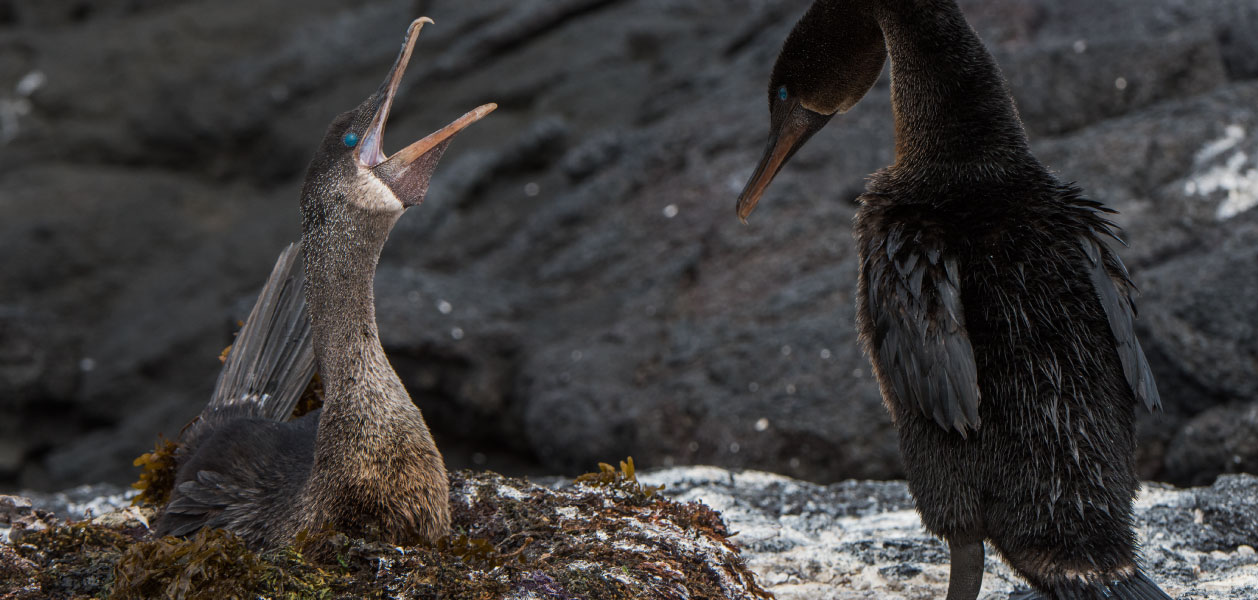 Flightless Cormorant couple nesting in the Galapagos Islands