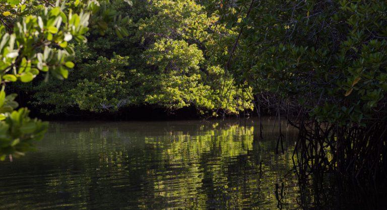 Black Turtle Cove - Santa Cruz in the Galapagos view of mangrove
