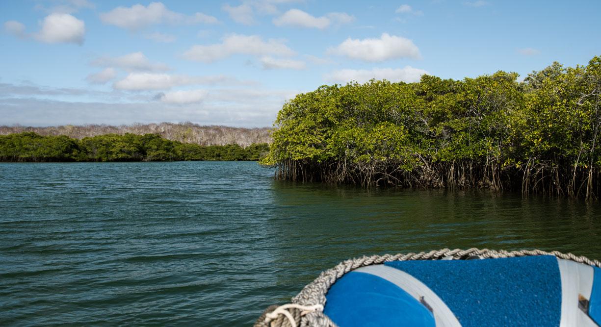 Black Turtle Cove - Santa Cruz in the Galapagos view of mangrove in panga