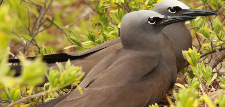 Couple of Galapagos Brown Noddies (Anous stolidus) resting among bushes