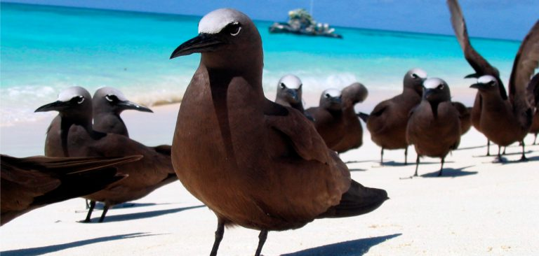 Group of Galapagos Brown Noddies (Anous stolidus) resting on the beah