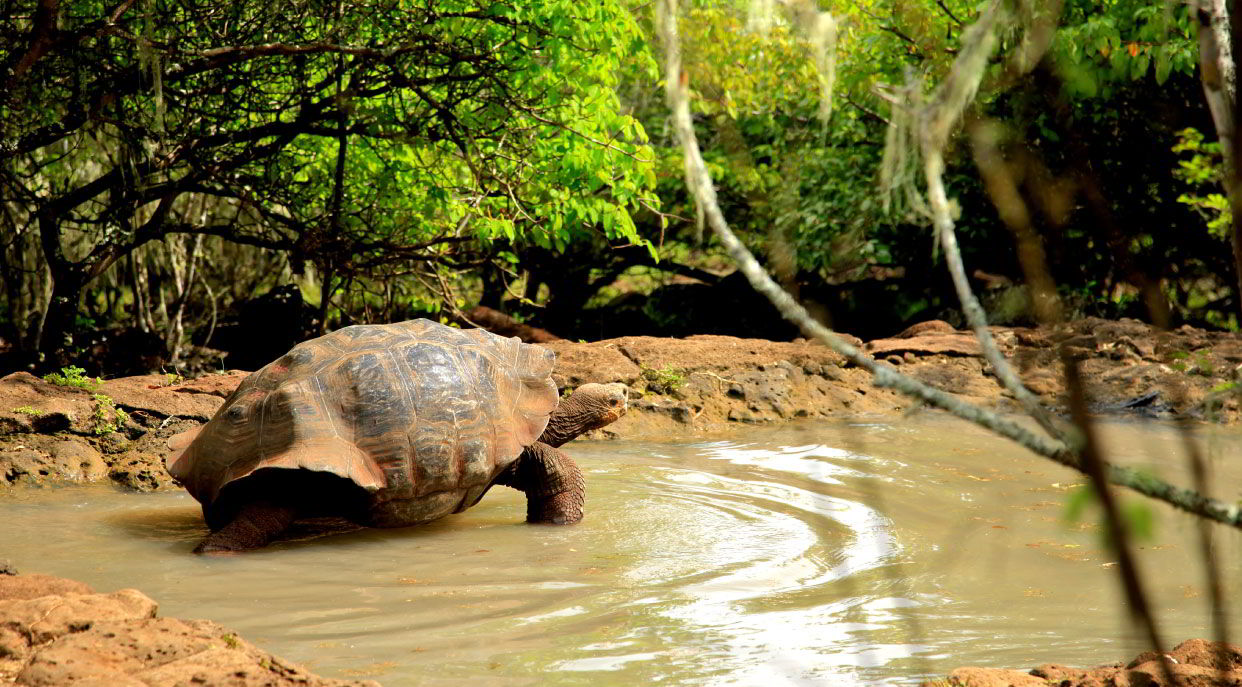 Cerro Colorado - San Cristobal in the Galapagos Islands Coral Itinerary C, view of a giant tortoises remaining in their habitat