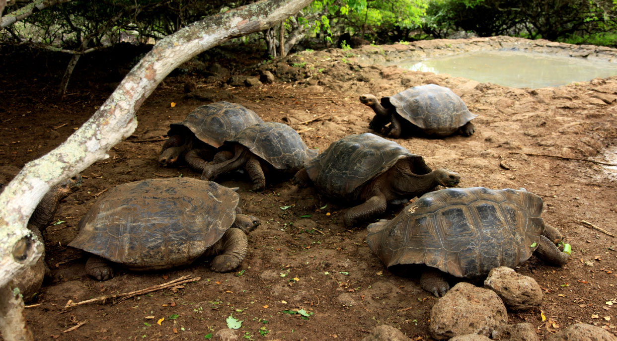 Cerro colorado - San Cristobal in the Galapagos Islands, view of a giant tortoises remaining in their habitat
