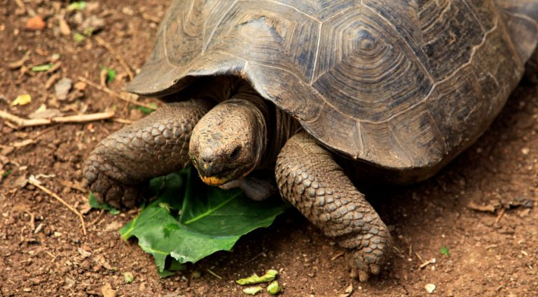 Cerro colorado - San Cristobal in the Galapagos Islands, view of a tortoise eating