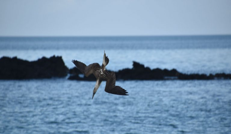 Cerro Brujo - San Cristobal in Galapagos Islands, Blue footed boobie fishing