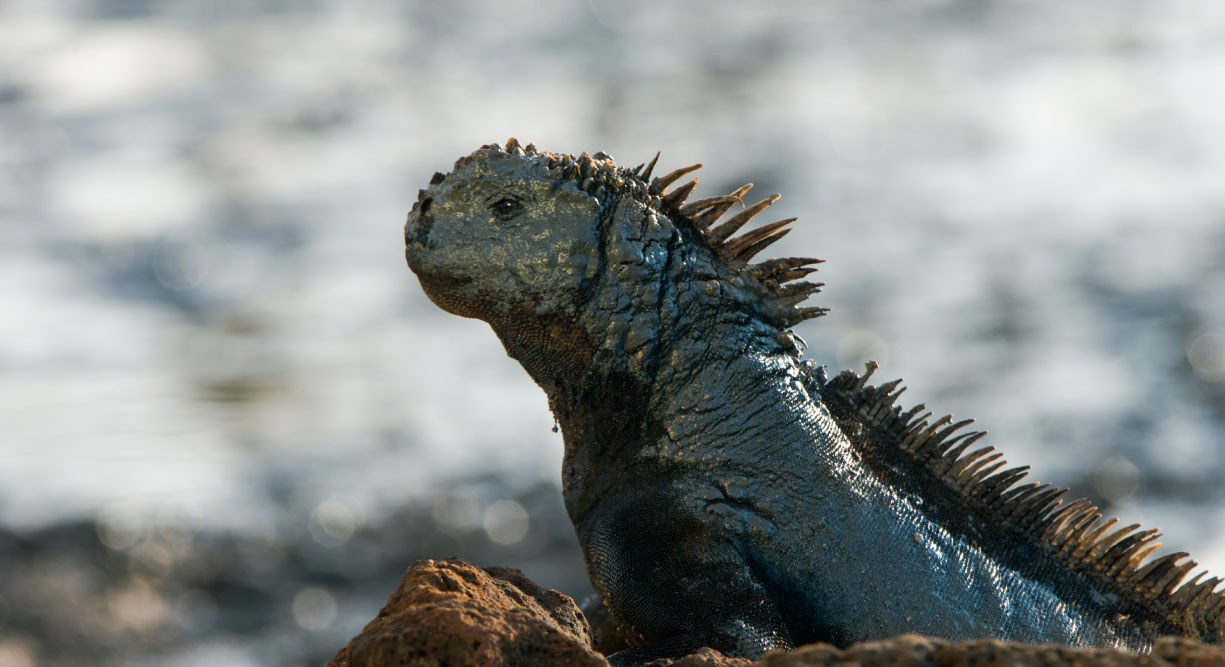 Dragon Hill - Santa Cruz in the Galapagos view of a marine iguana