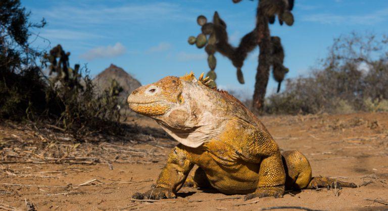 Dragon Hill - Santa Cruz in the Galapagos view of a land iguana