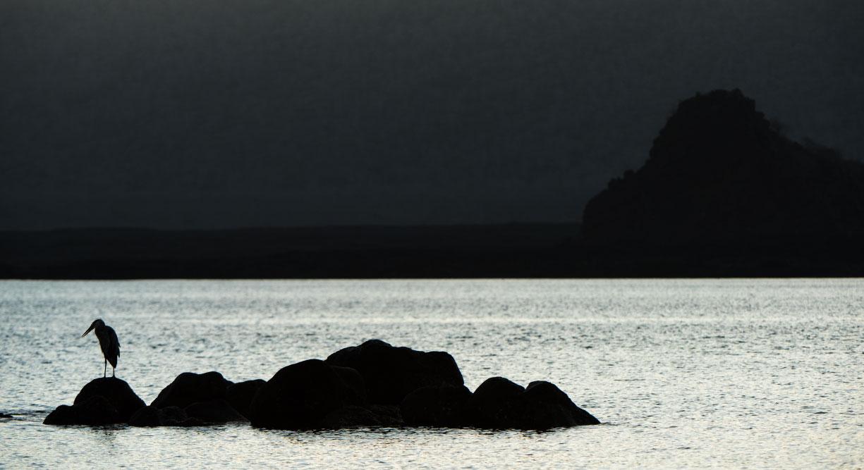 Egas Port in Santiago Island giant heron on rock
