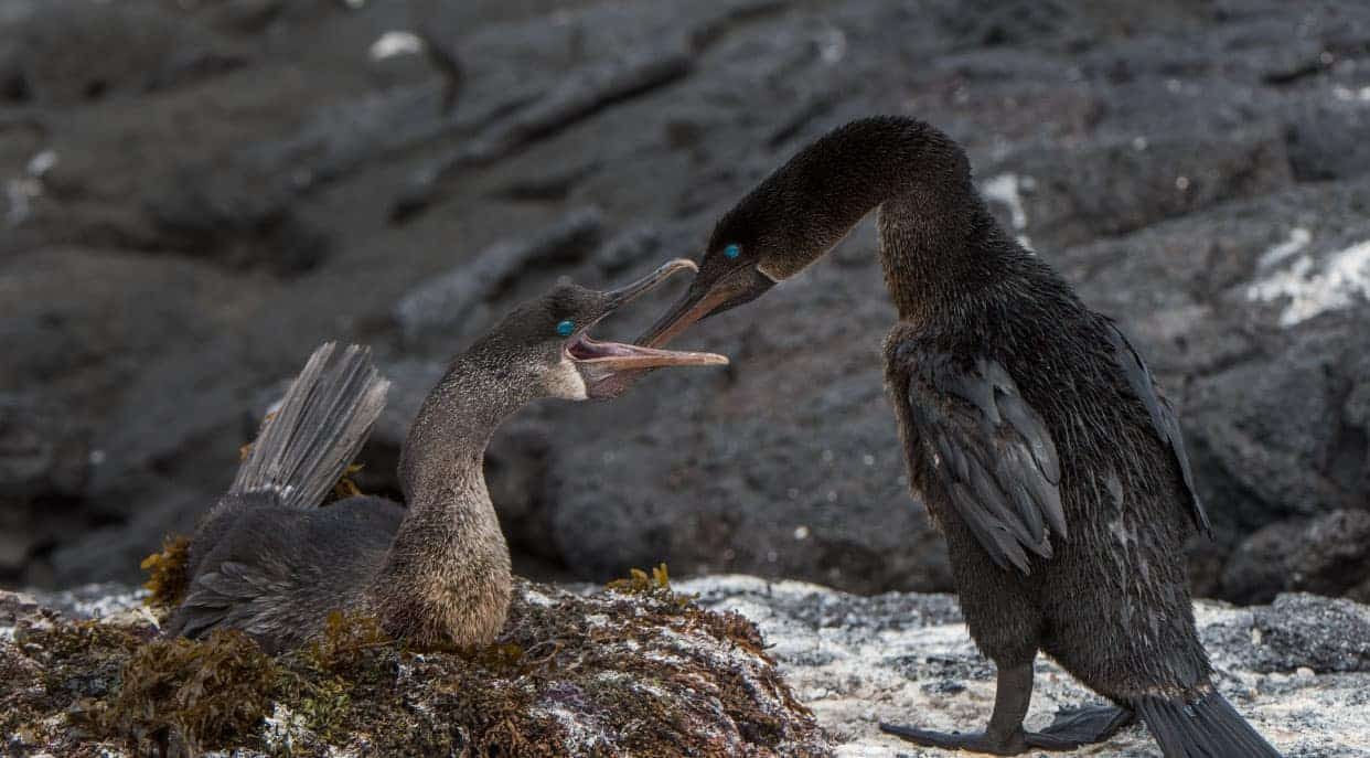 Espinoza Point with flightless cormorants in nest
