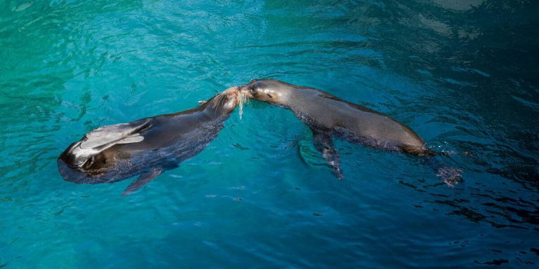 Fur seals kissing in Egas Port